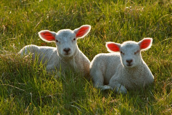 Solar Grazing for Sheep Helps Make Solar for Farms More Realistic by Utilizing the Land Under Solar Panels to Safely Graze Sheep