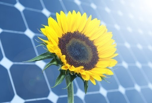 Sunflowers and Solar Panels A Match Made in Kansas Get Solar Professionally Installed by Calling Solar Sam Today